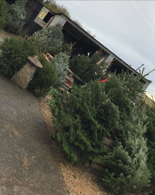 Christmas trees outside in a paved area
