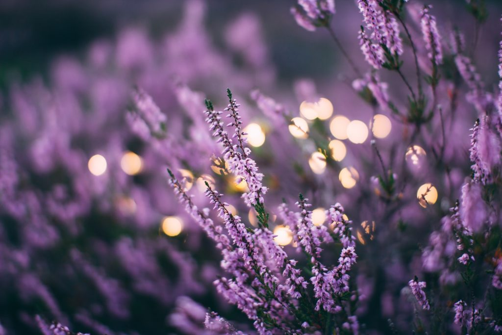 Fairy lights surrounded by lavender