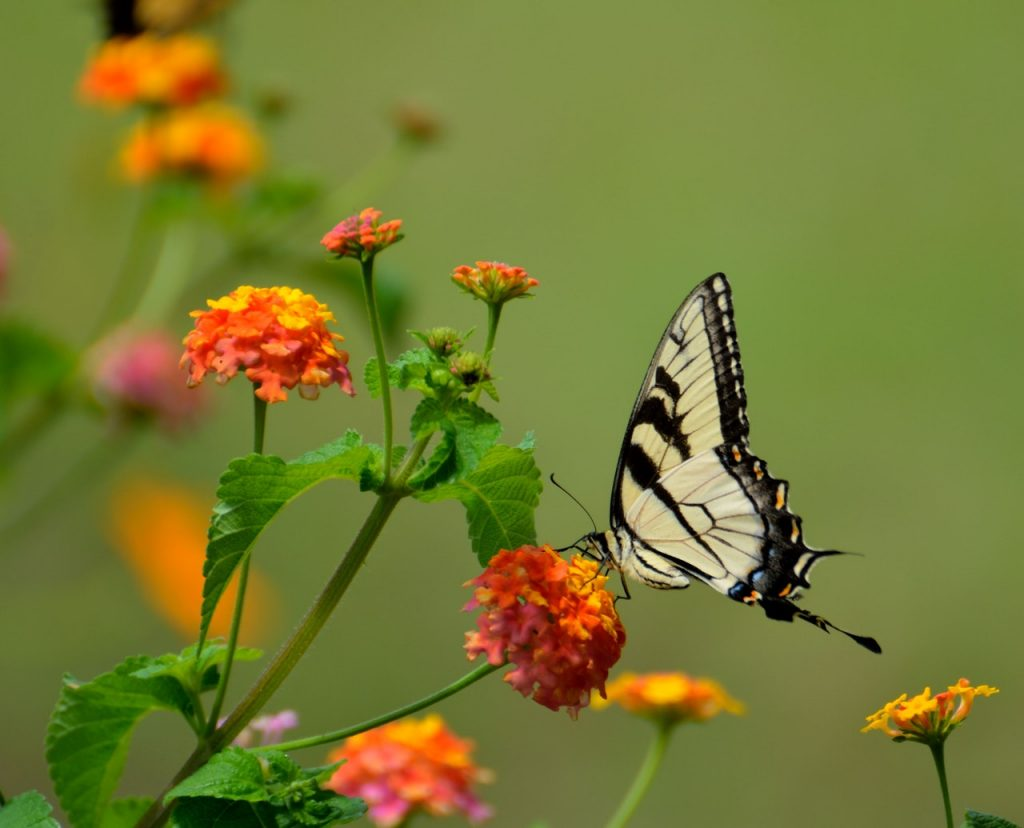 A yellow swallow tail butterfly on an orange flower