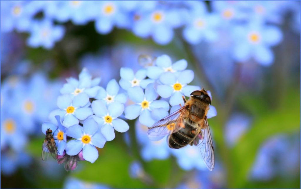Forget-me-not flowers with a bee
