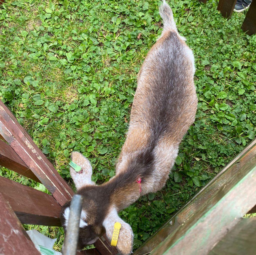 A goat in a wooden pen